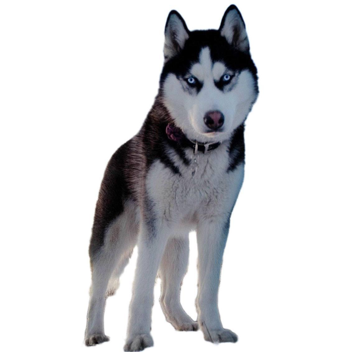 Alaskan Husky Breed