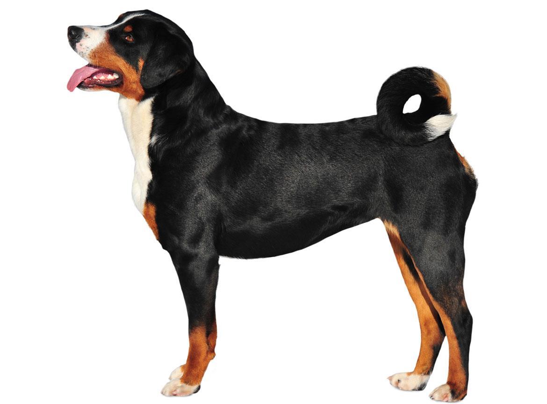 Appenzeller Sennenhunde Breed