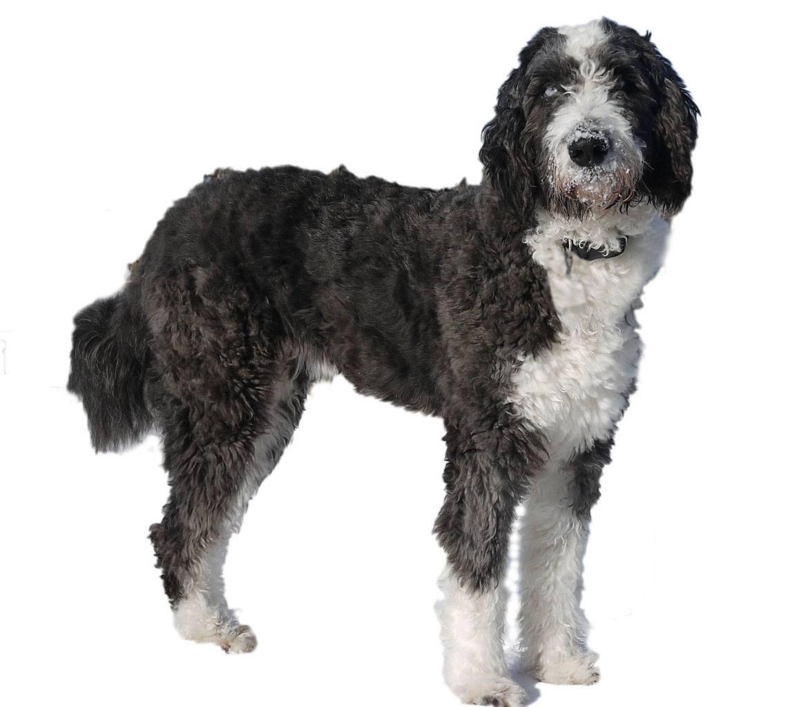 Aussiedoodle Breed