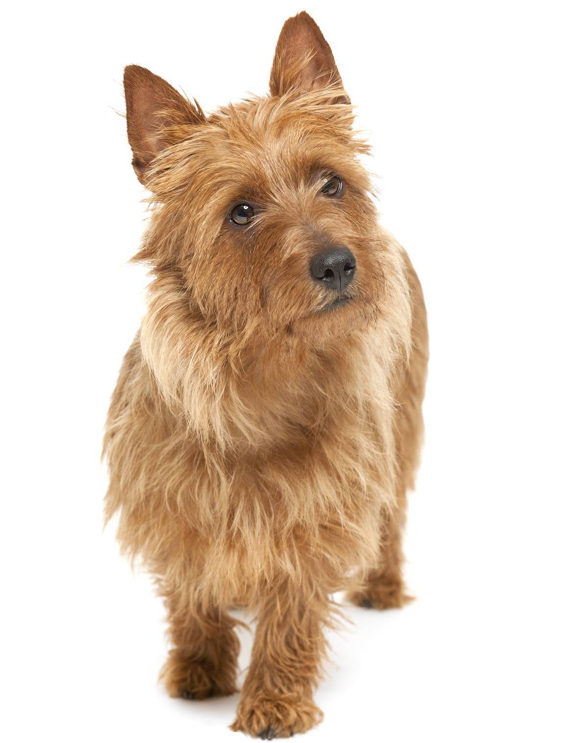 Australian Terrier Breed