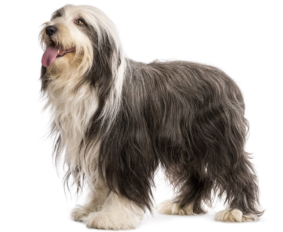 Bearded Collie Breed