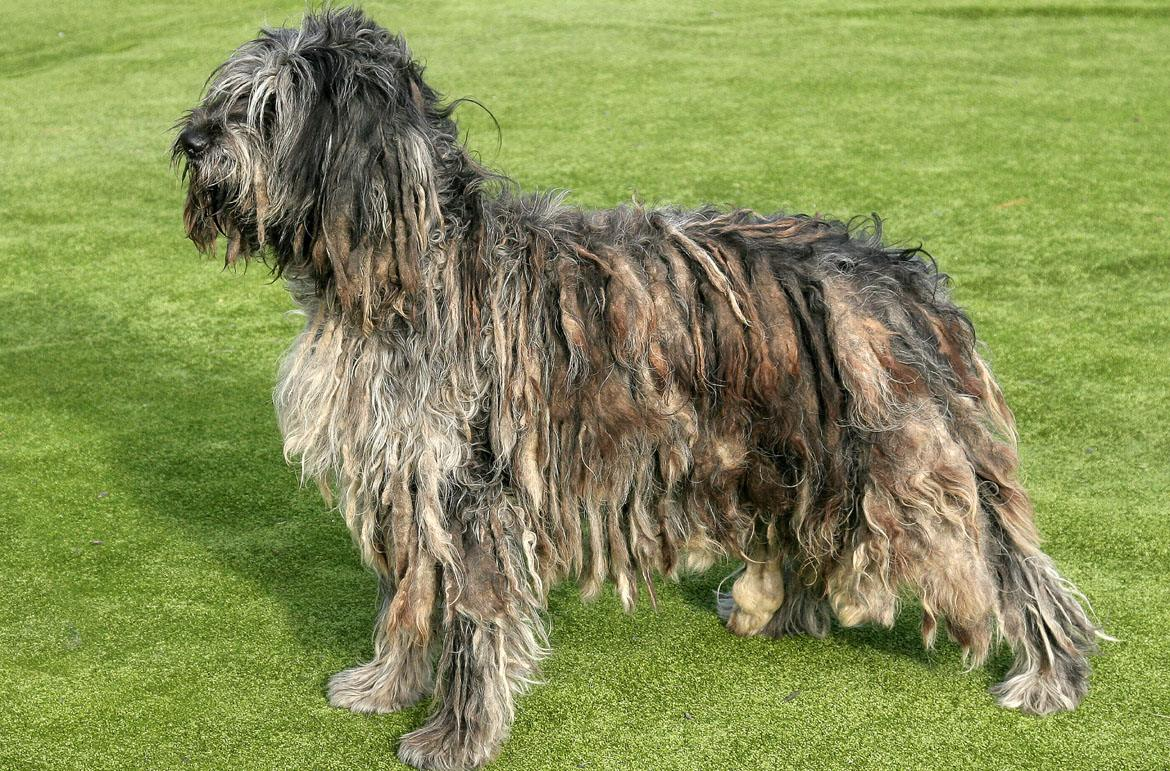 Bergamasco Breed