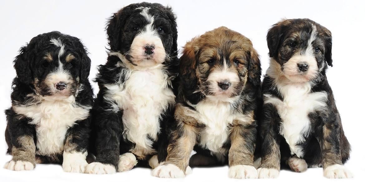 Bernedoodle Breed - Photo Coming Soon!