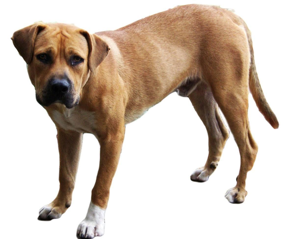 Black Mouth Cur Breed