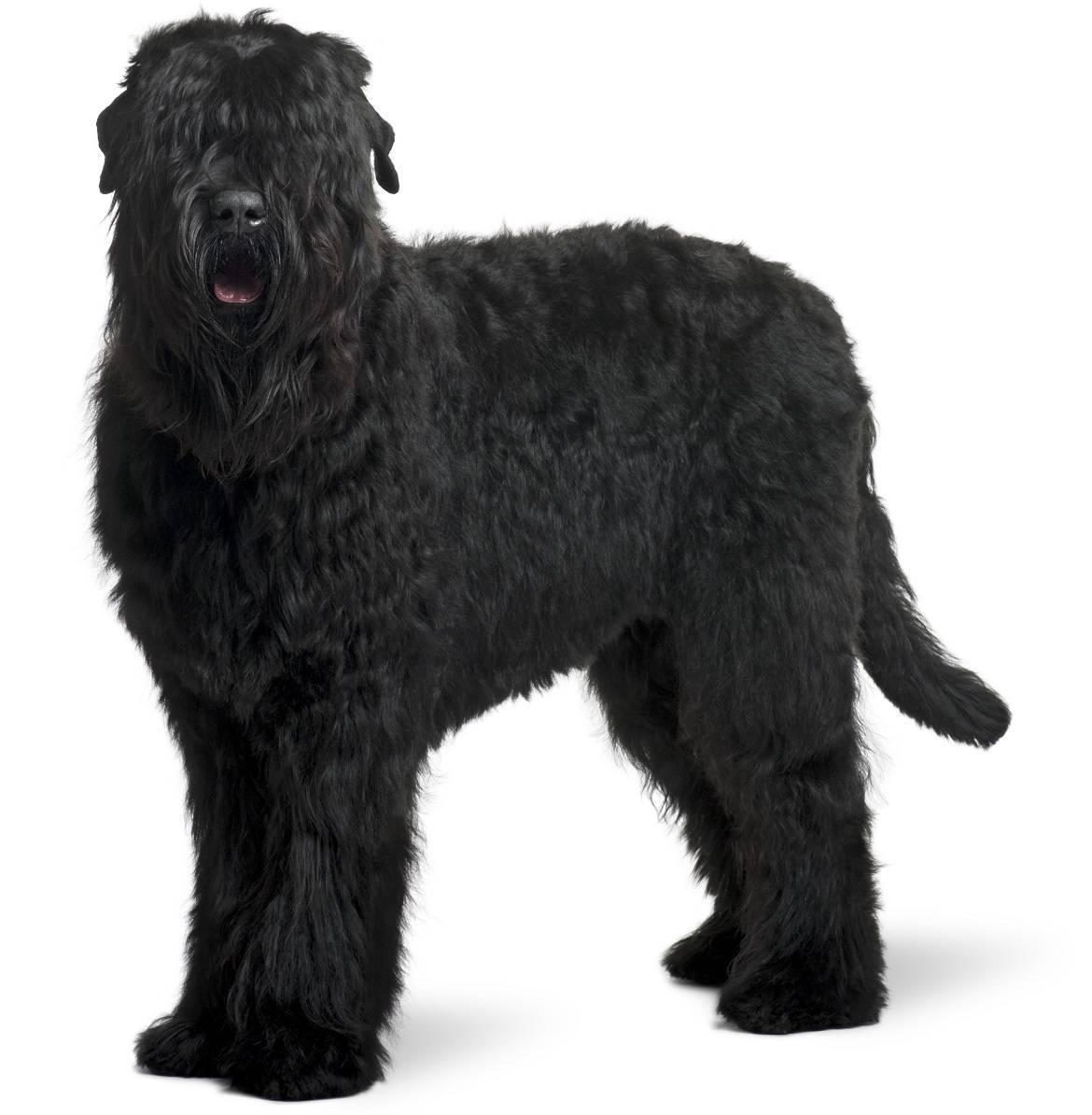Black Russian Terrier Breed
