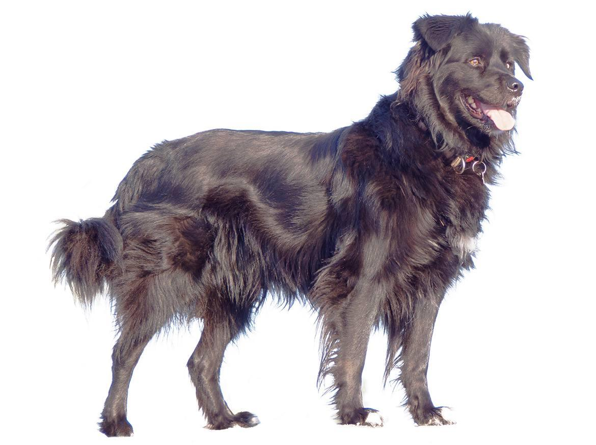 Borador Breed