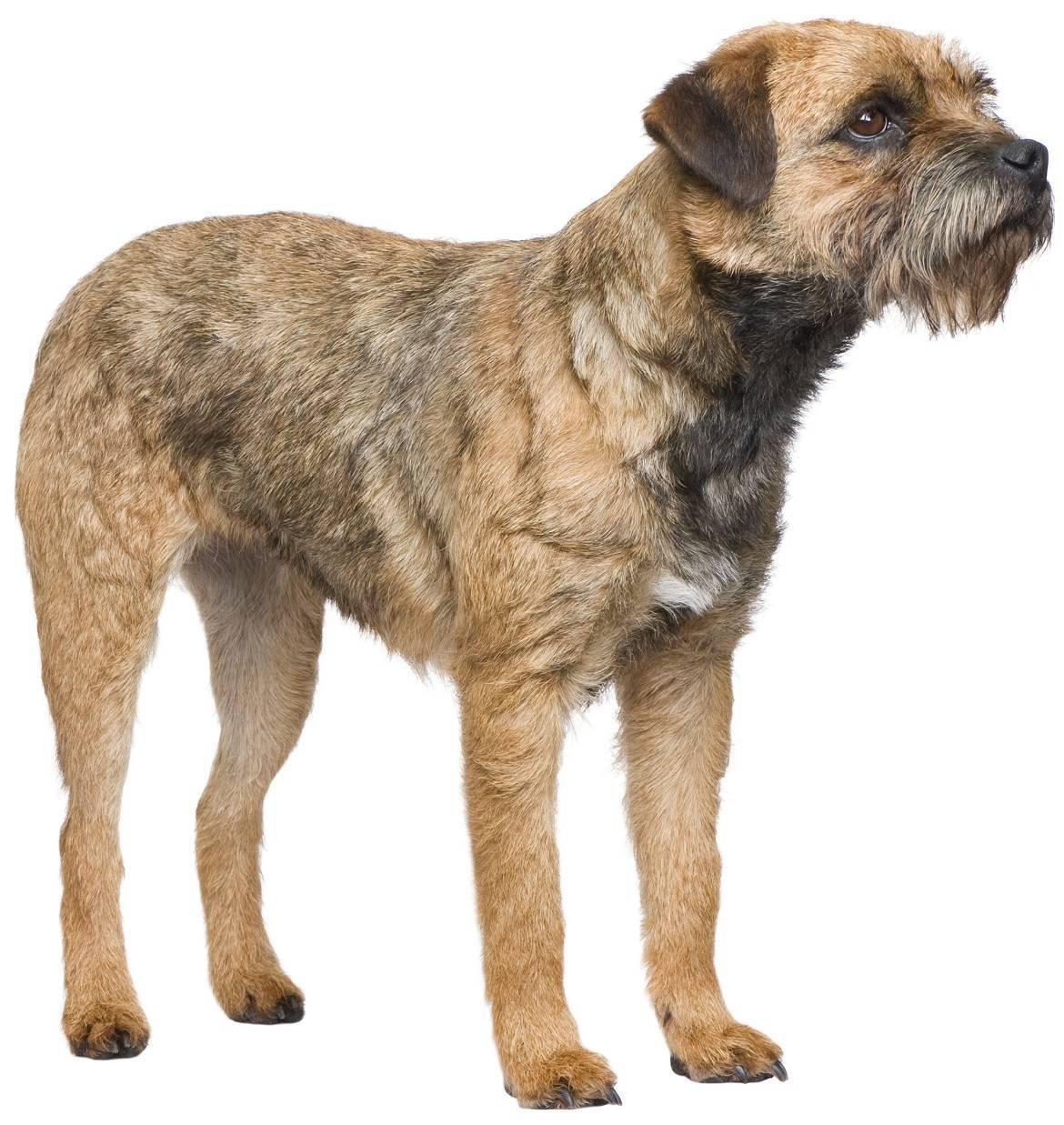 Border Terrier Breed
