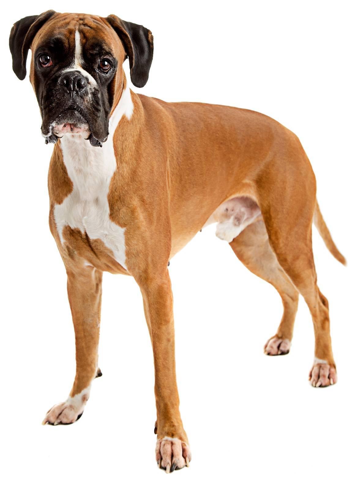 Boxer Breeders - Complete Worldwide List