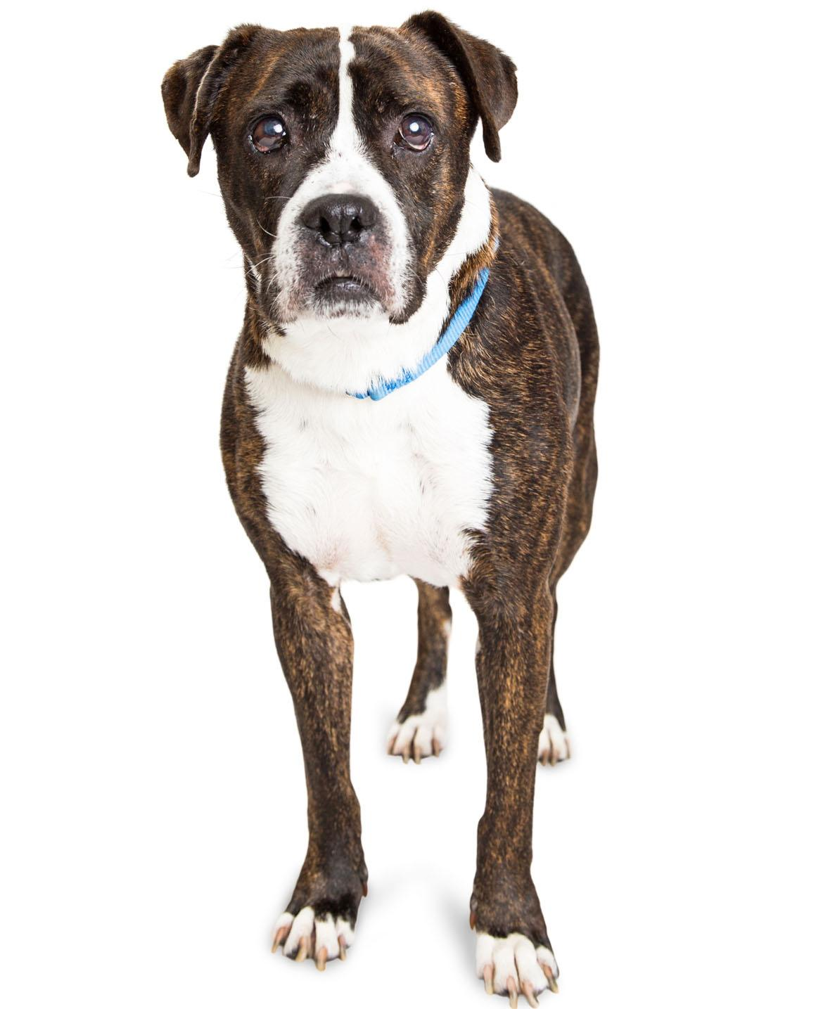 Bullboxer Pit Breed