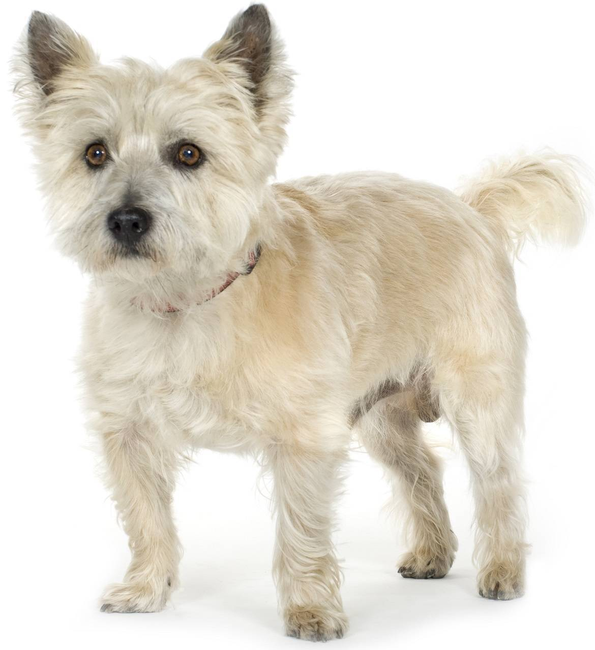 Cairn Terrier Breed