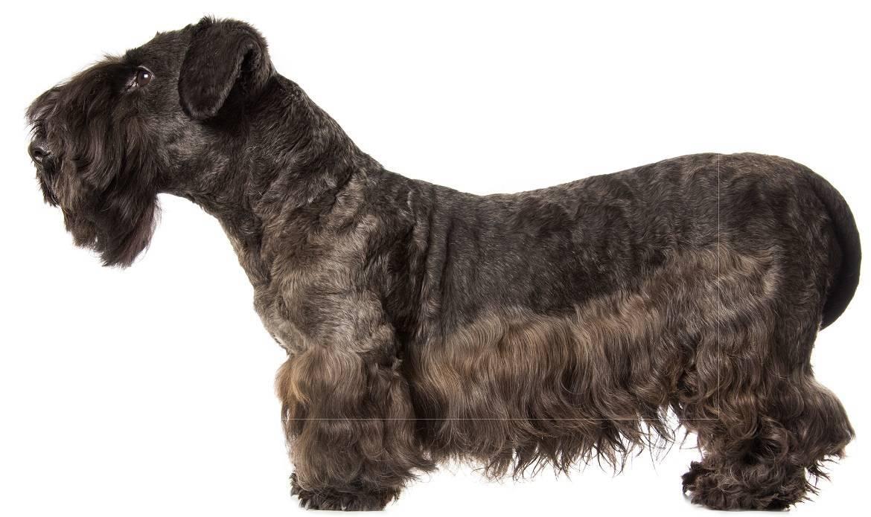 Cesky Terrier Breed
