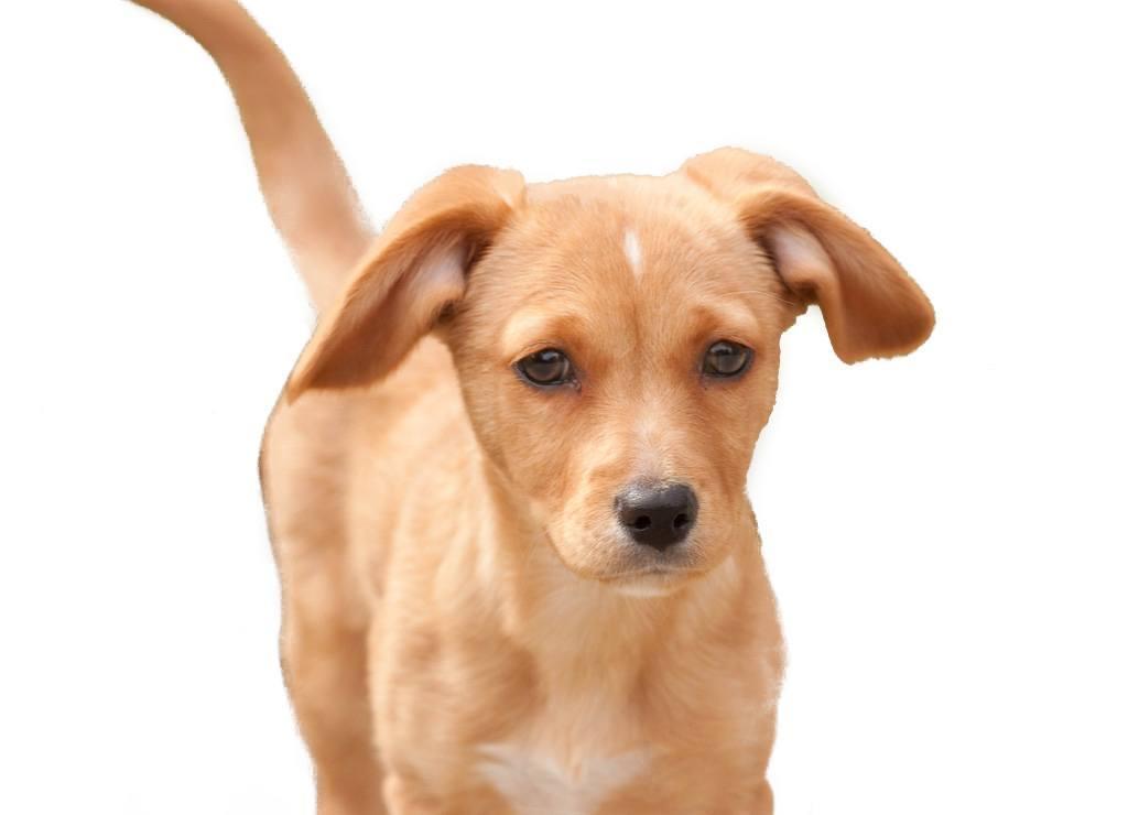 Cheagle or Chihuahua Beagle Mix Breed