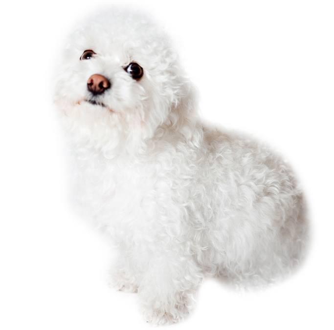 Chi-Poo Breed