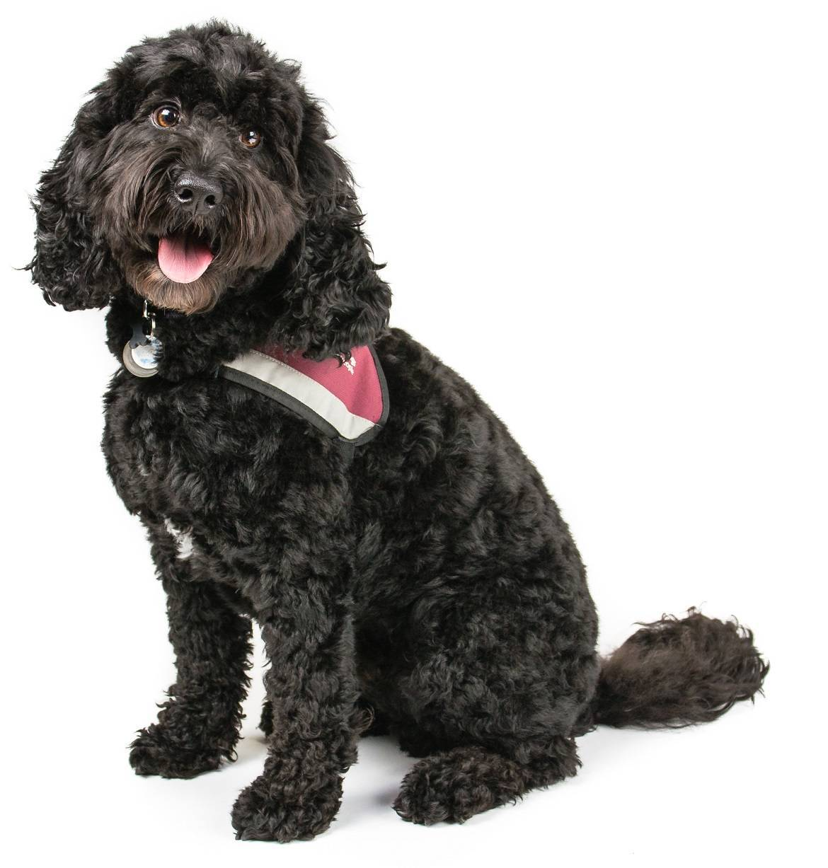Cockapoo Breed