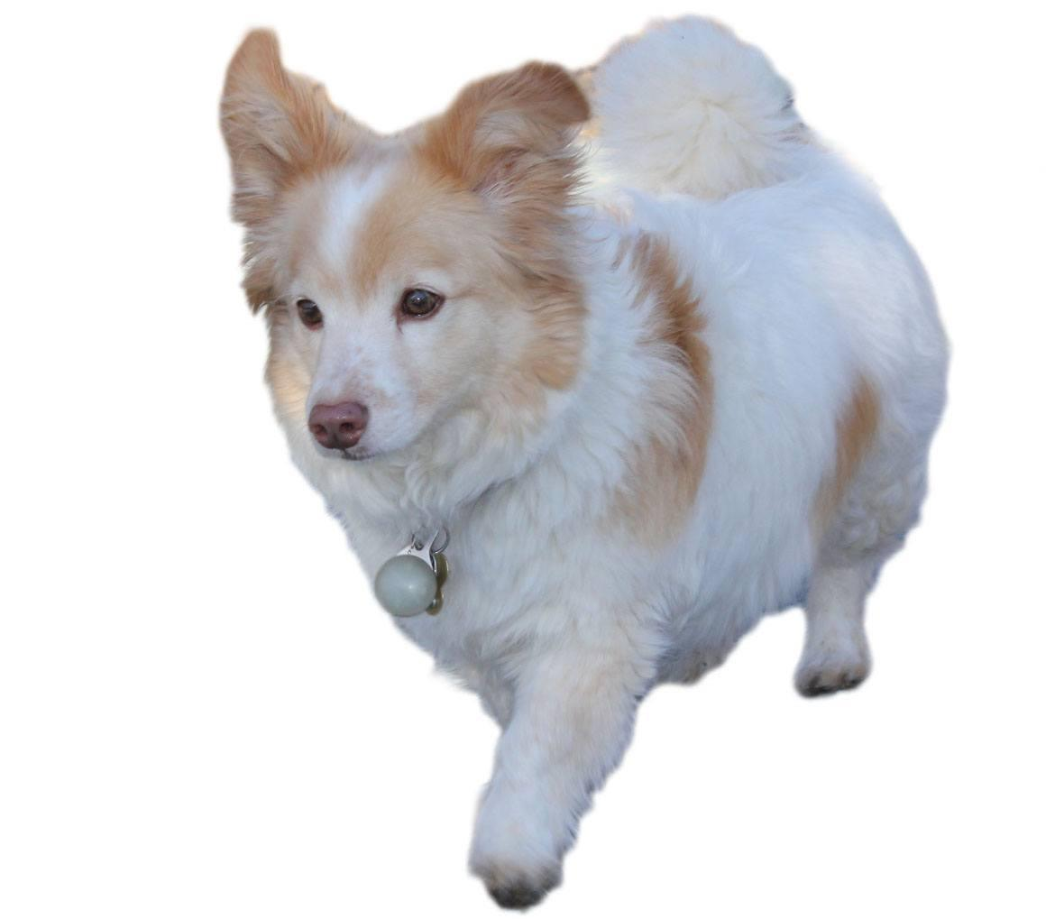 Corgipoo Breed