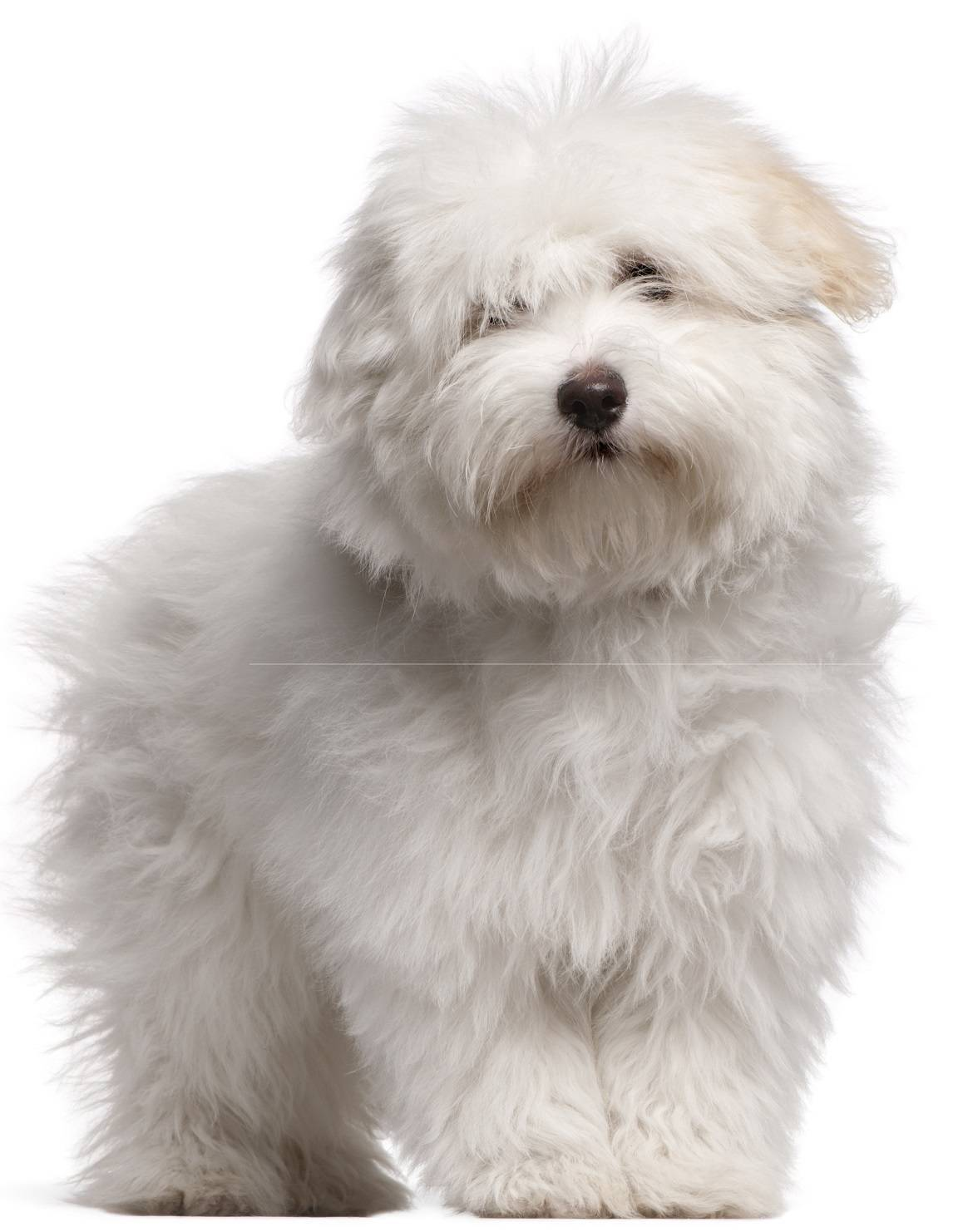 Coton de Tulear Breed