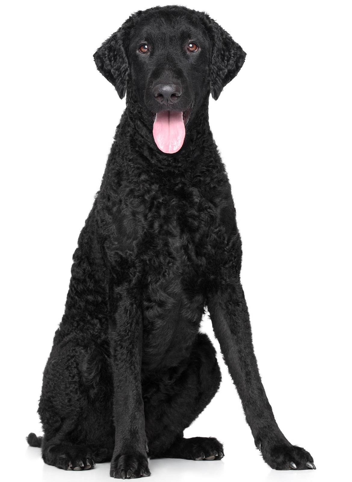 Curly-Coated Retriever Breed
