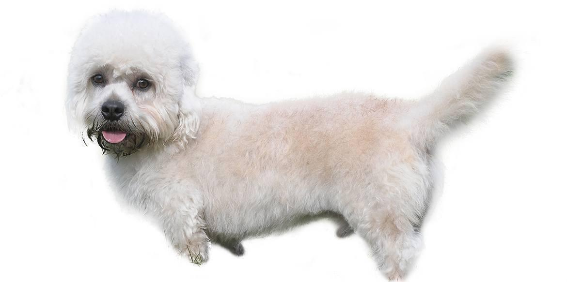 Dandie Dinmont Terrier Breed