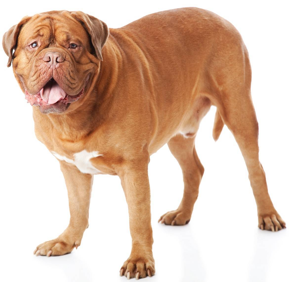 Dogue de Bordeaux Breed
