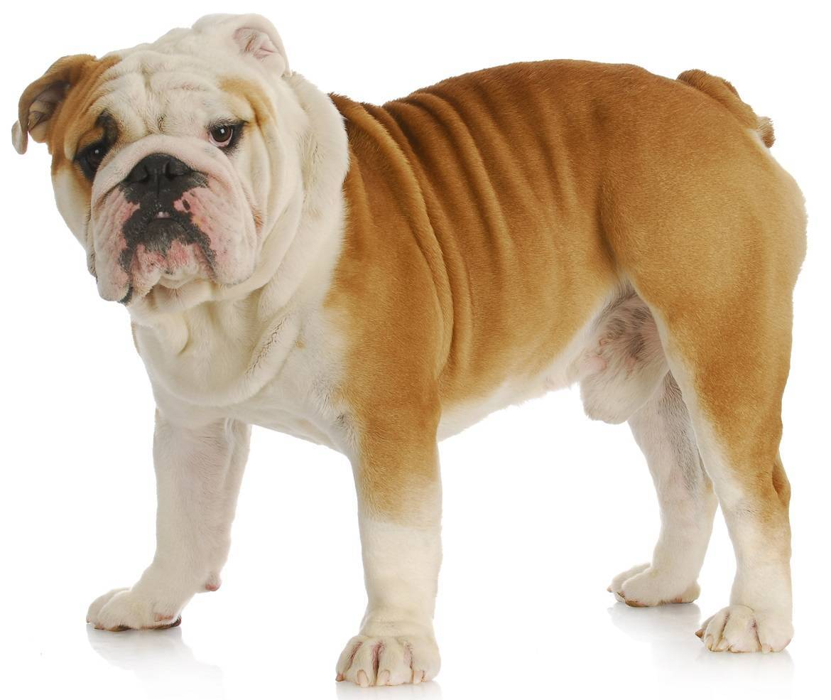 English Bulldog Breed