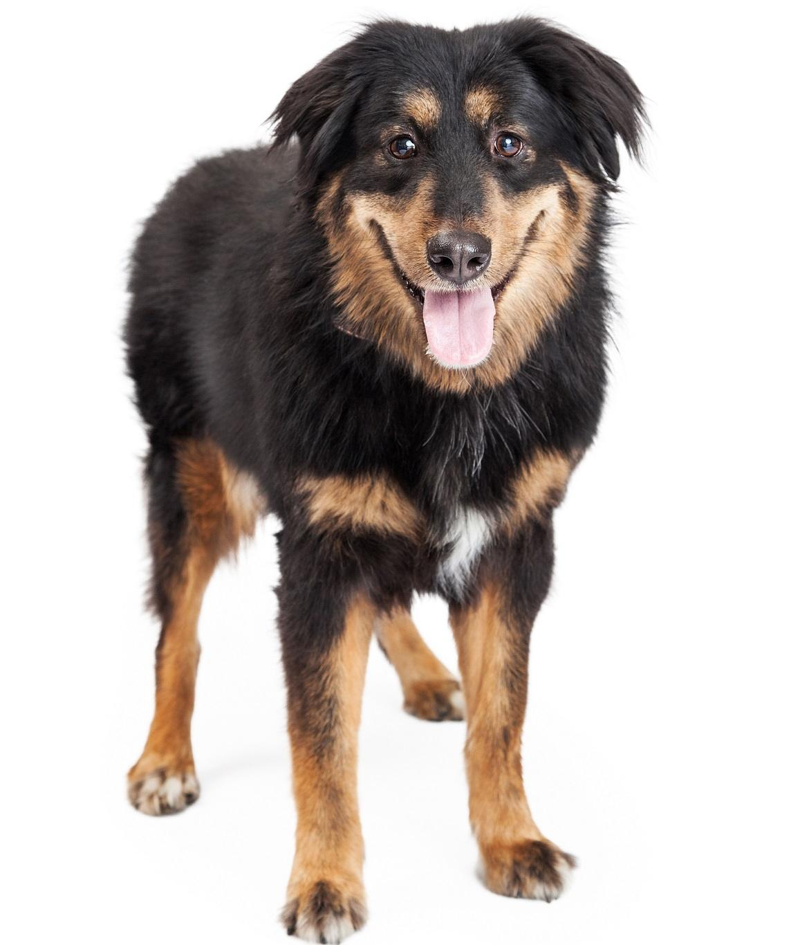 English Shepherd Breed