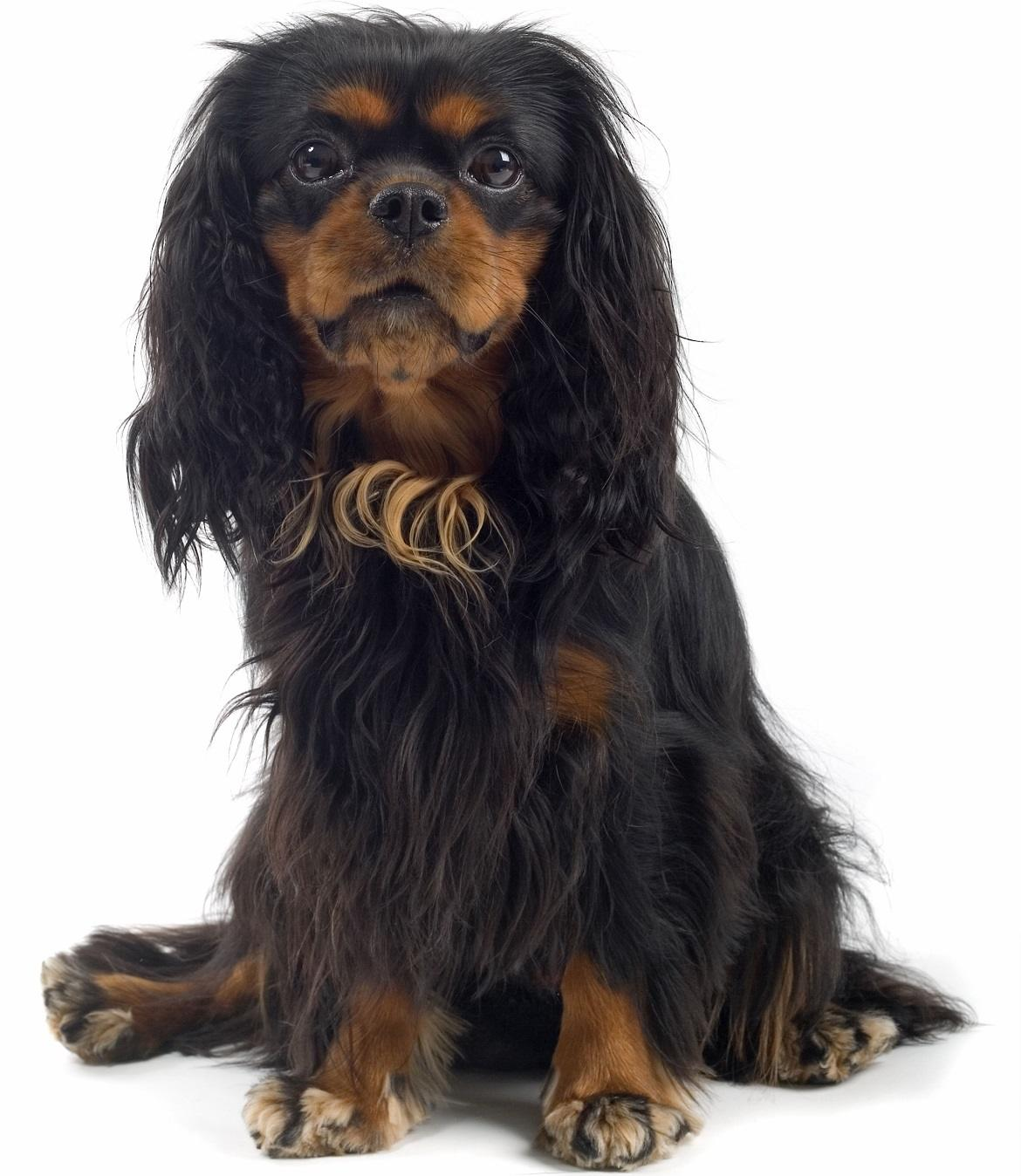 English Toy Spaniel Breed