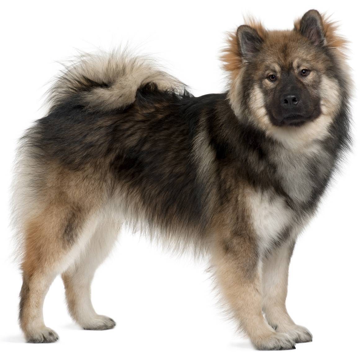 Eurasier Breed