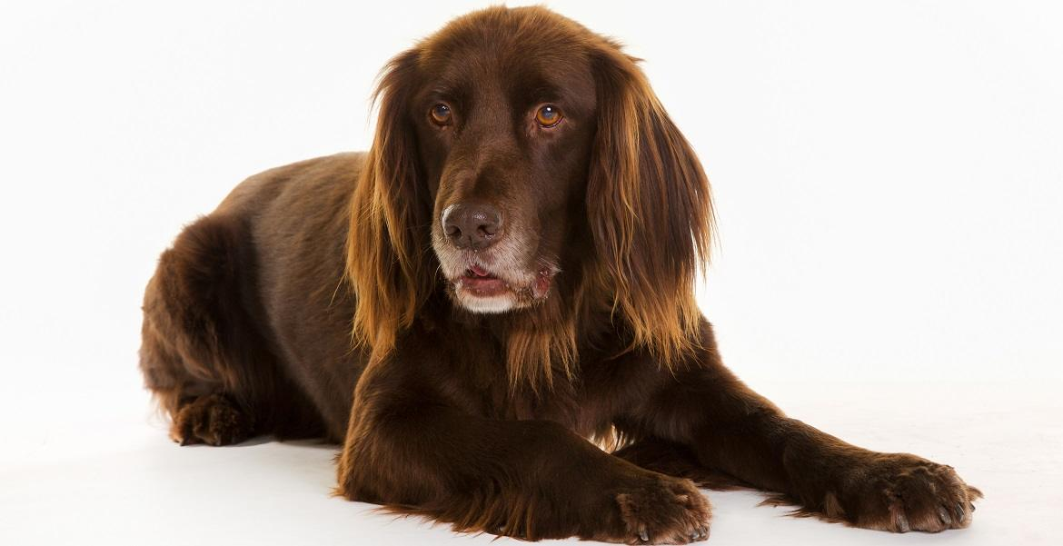 German Longhaired Pointer Breed