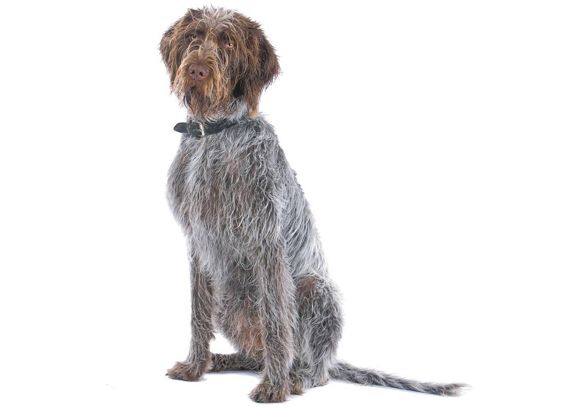 German Wirehaired Pointer Breed
