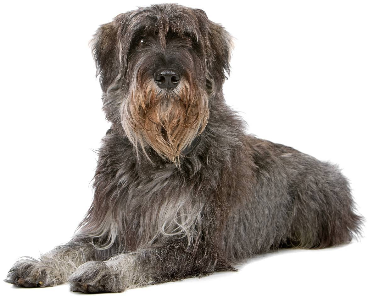 Giant Schnauzer Breed