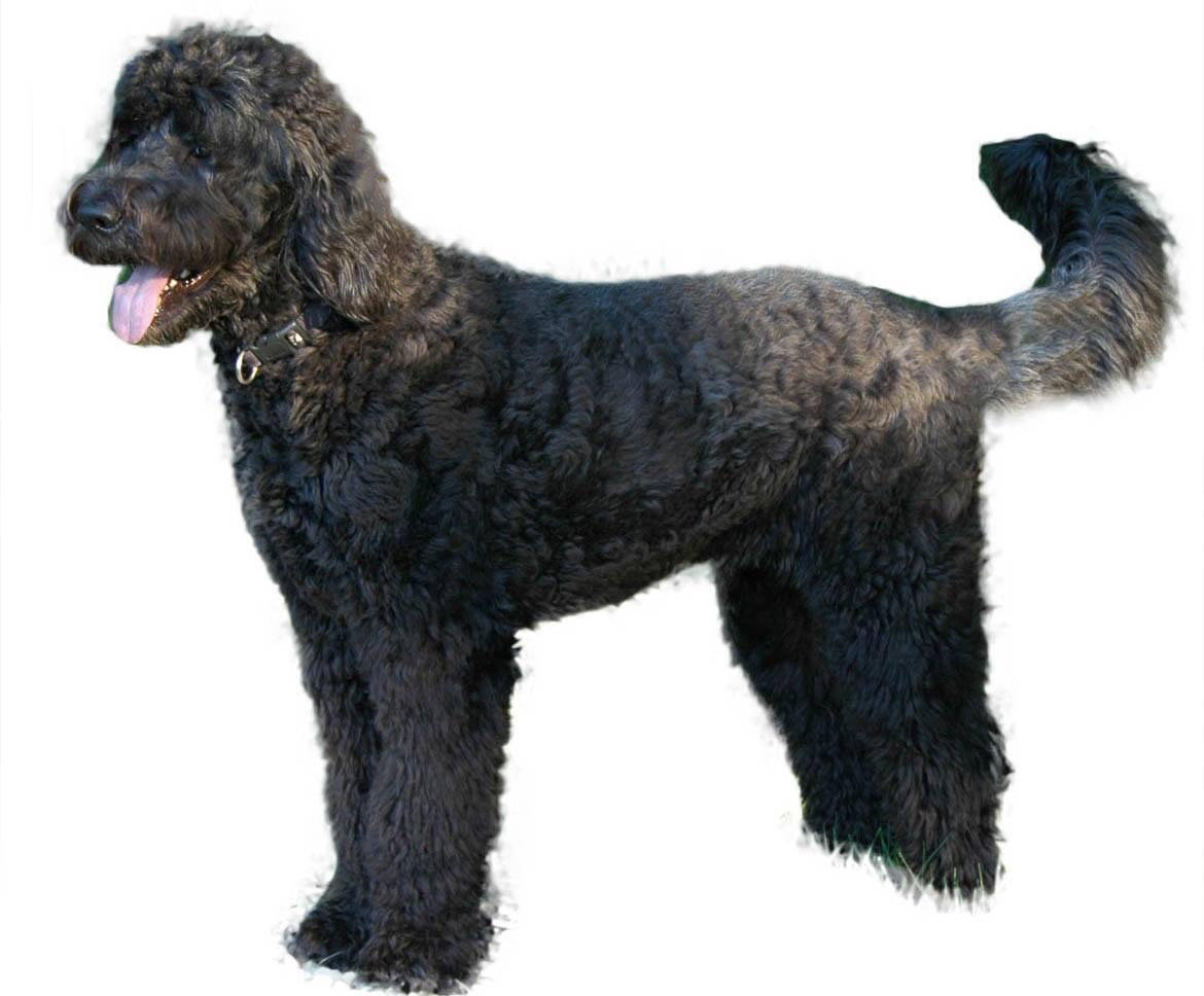 Giant Schnoodle Breed