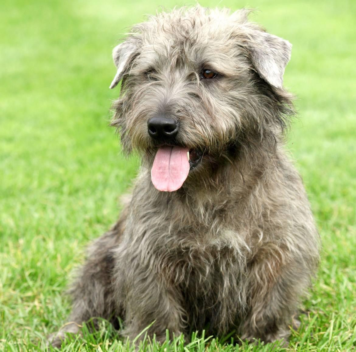 Glen of Imaal Terrier Breed