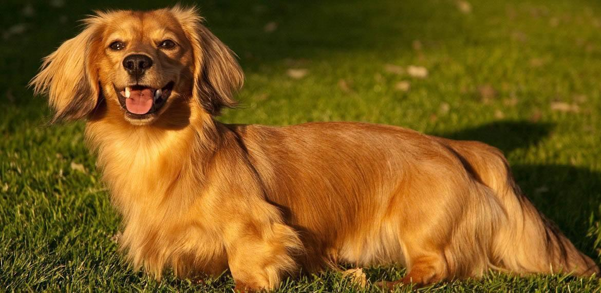 Golden Dox Breed