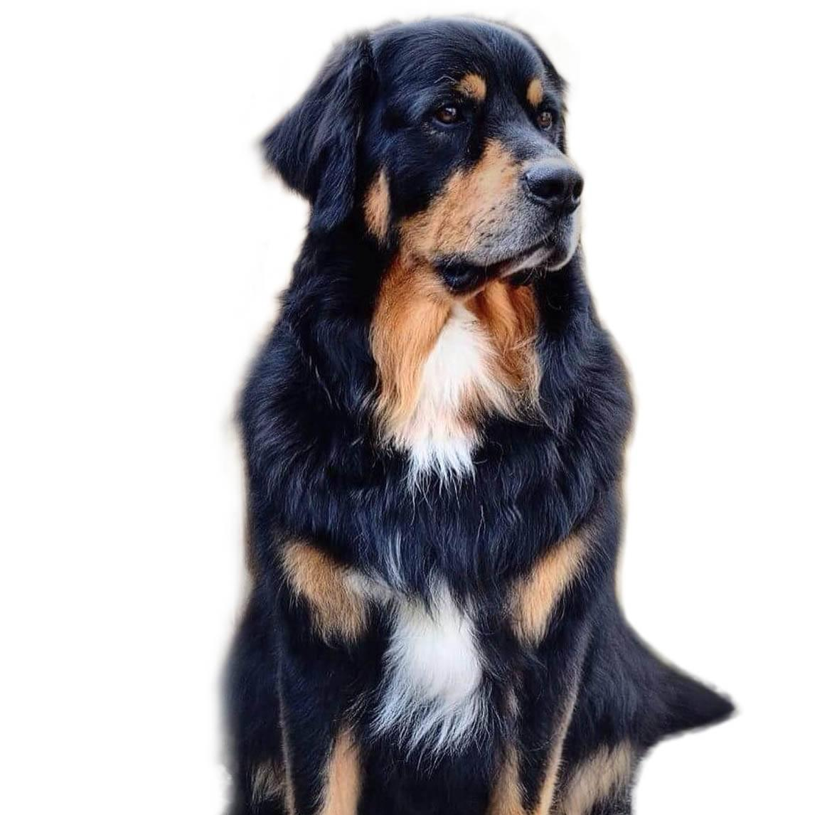 Golden Mountain Dog Breed