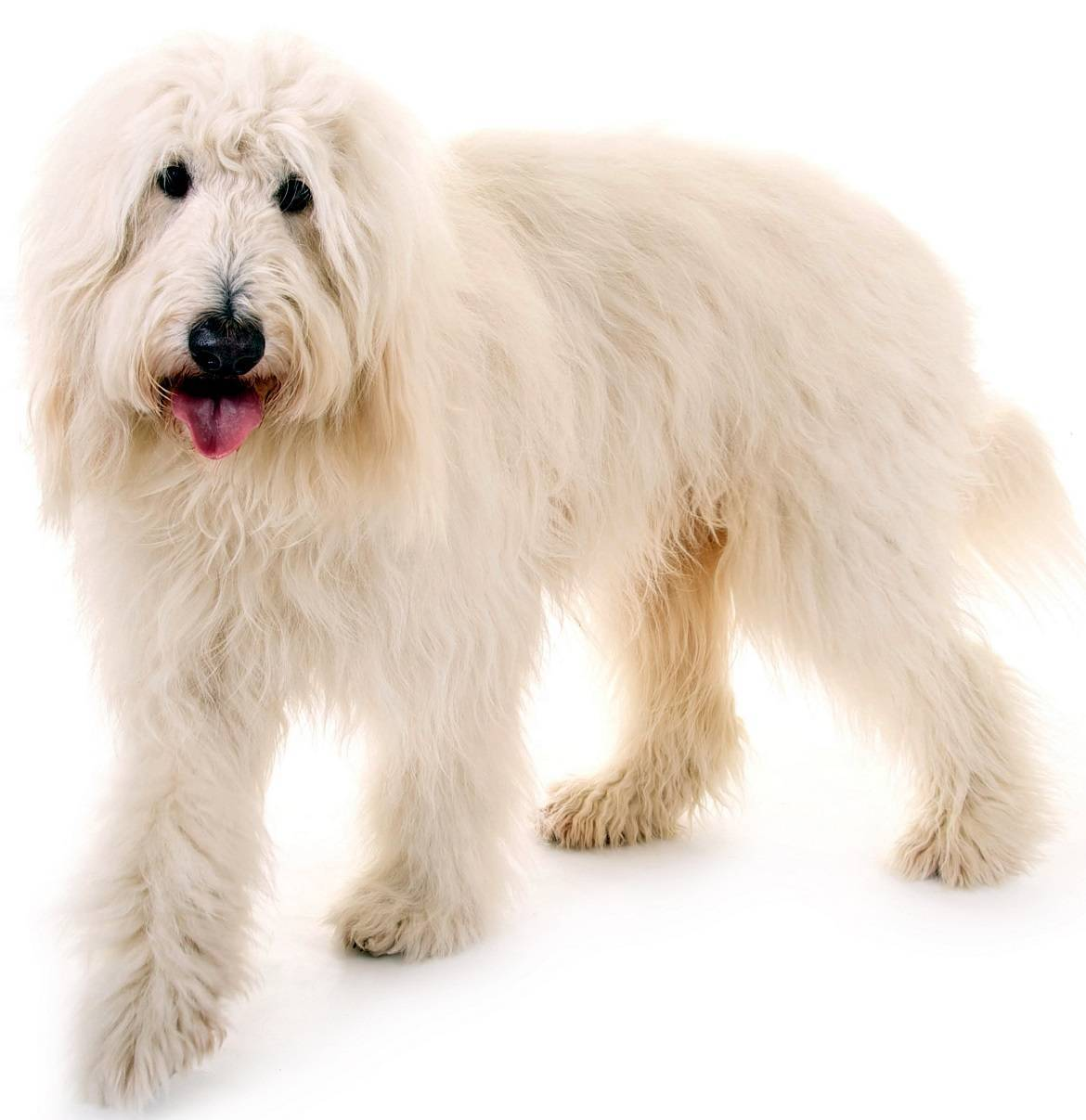 Goldendoodle Breed