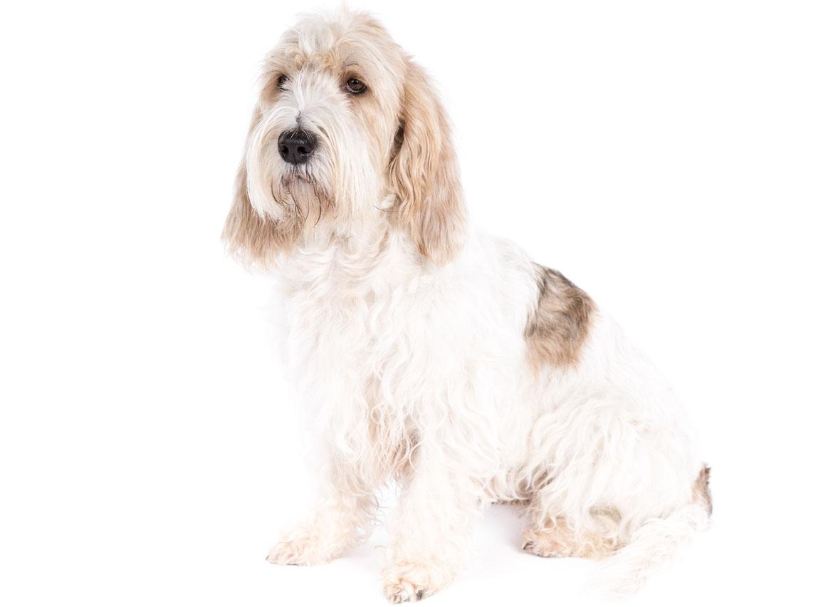 Grand Basset Griffon Vendeen Breed