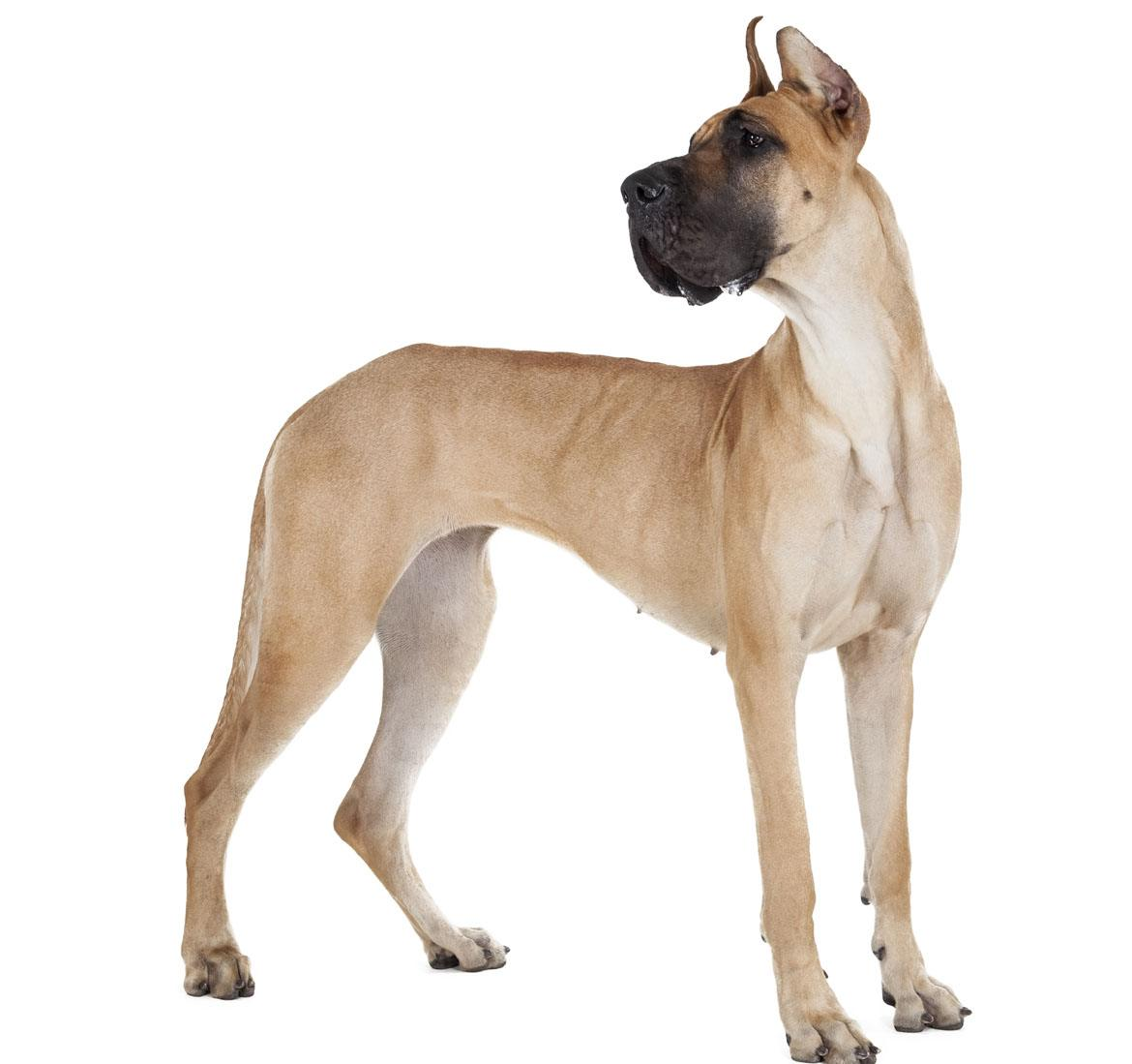 Great Dane Breed