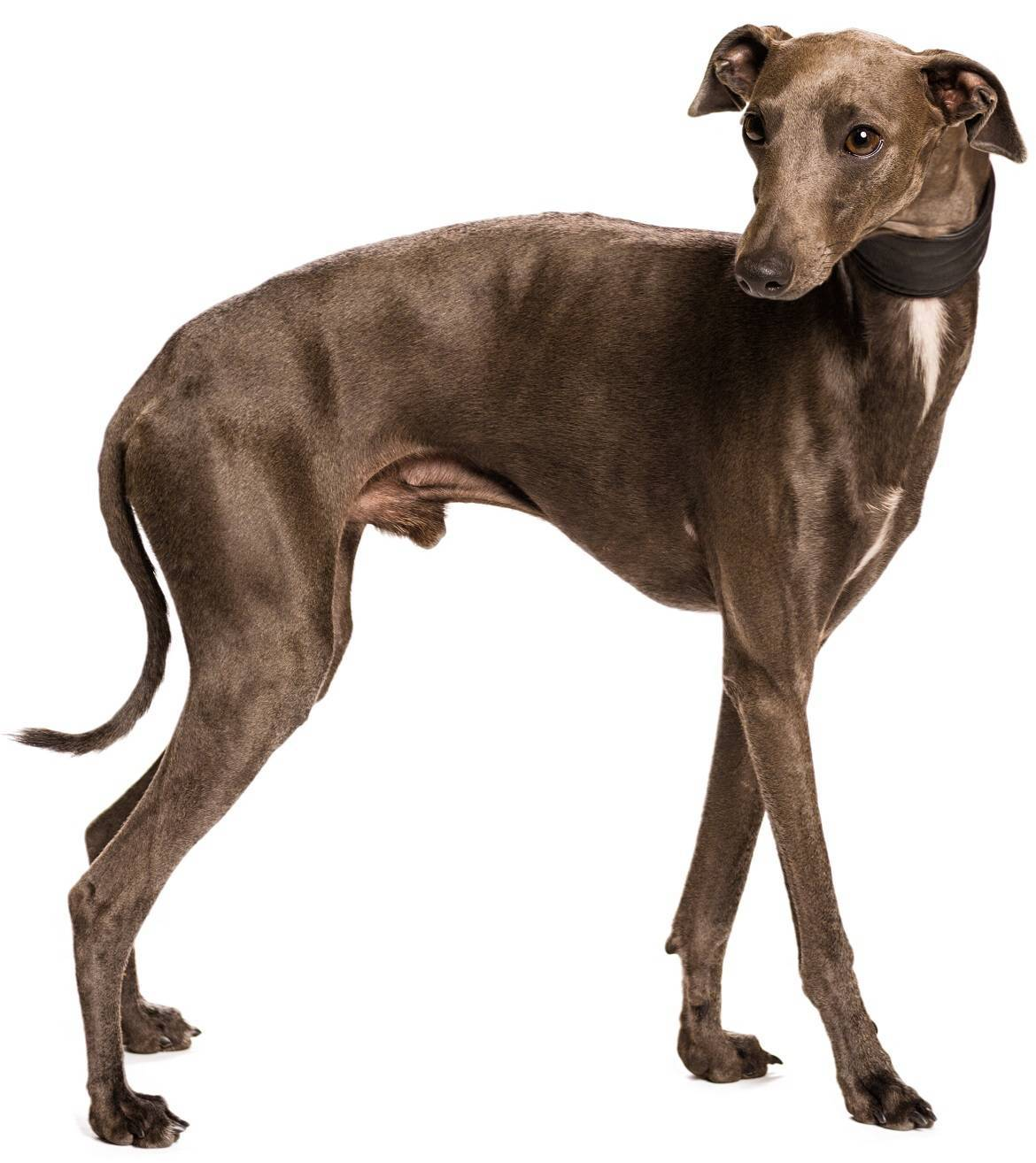 Greyhound Breed