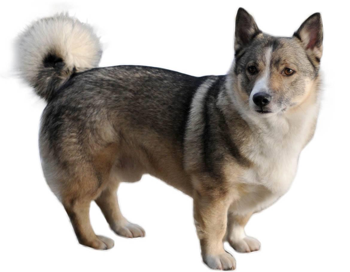 Corgi Husky Mix Breed