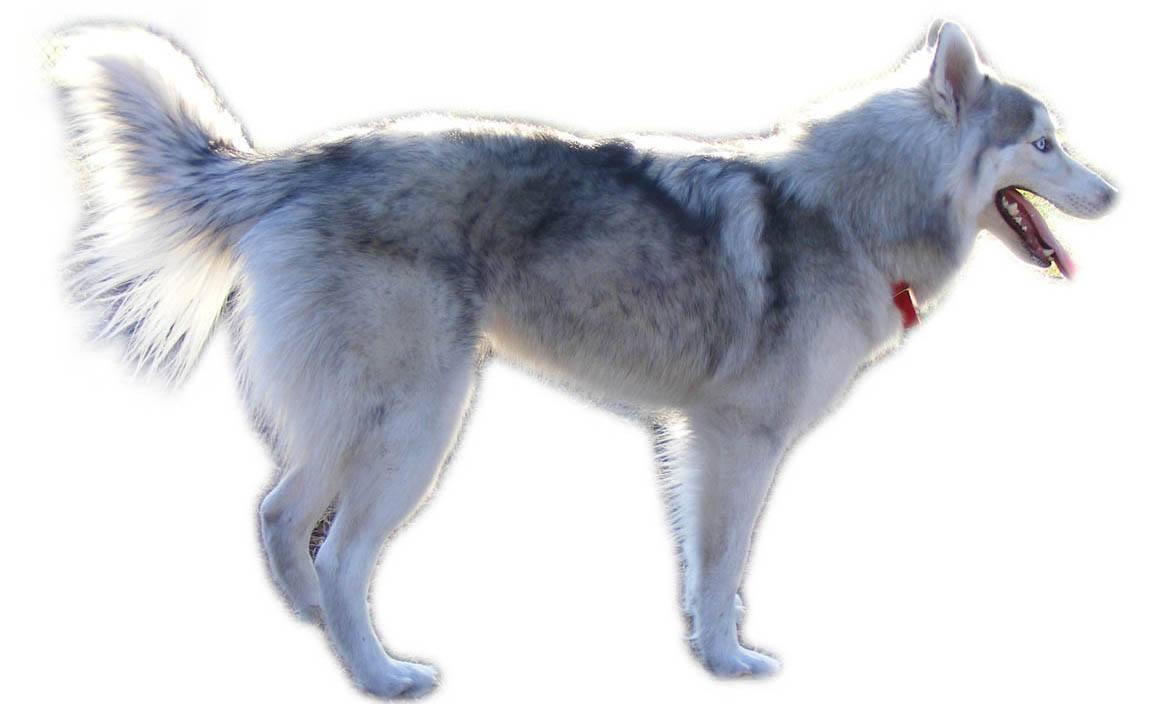 Huskimo Breed