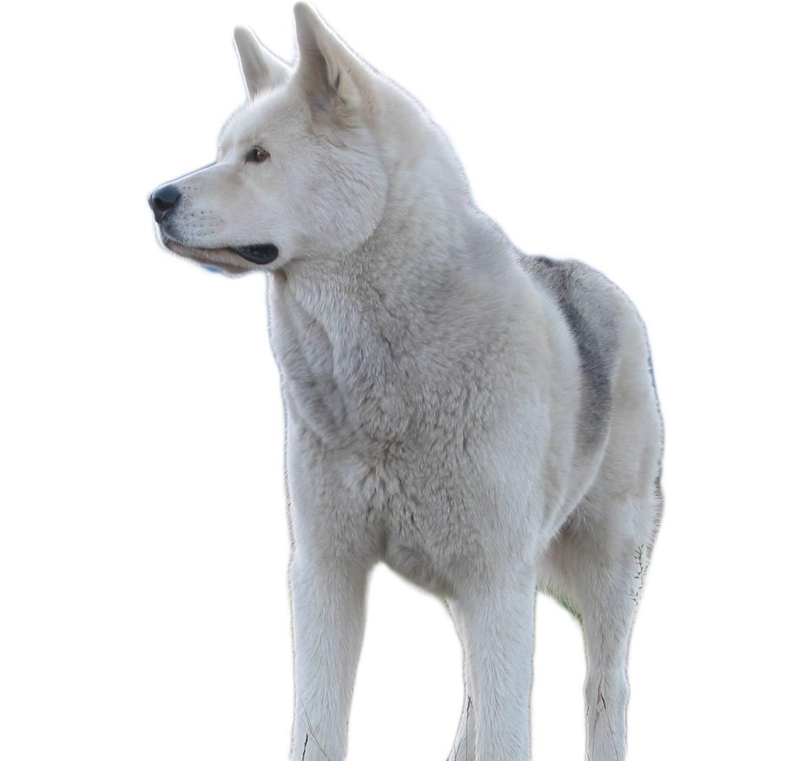 Huskita Breed