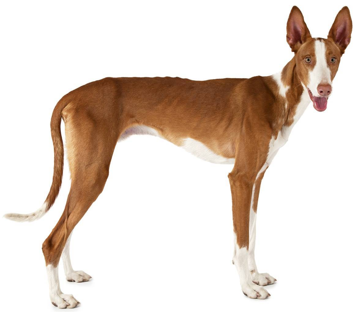 Ibizan Hound Breed