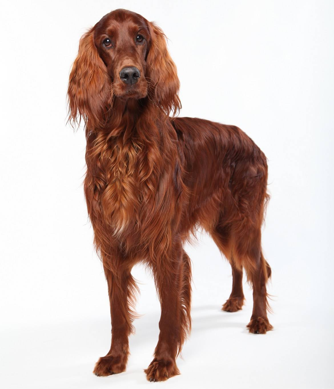 Irish Setter Breed