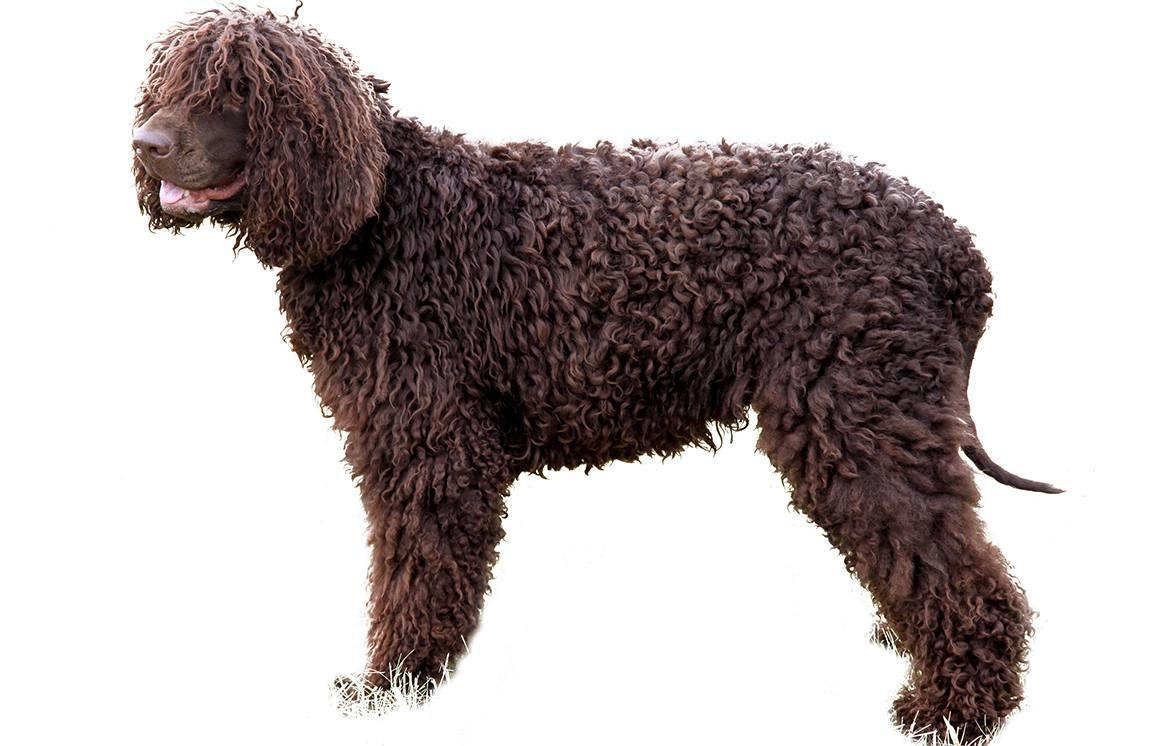 Irish Water Spaniel Breed