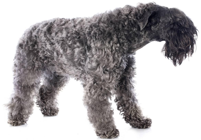 Kerry Blue Terrier Breed