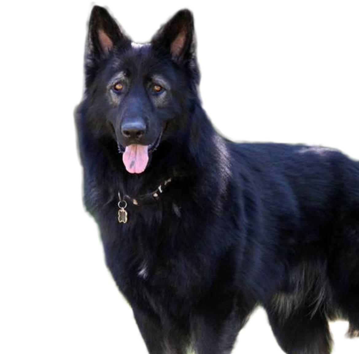 King Shepherd Breed