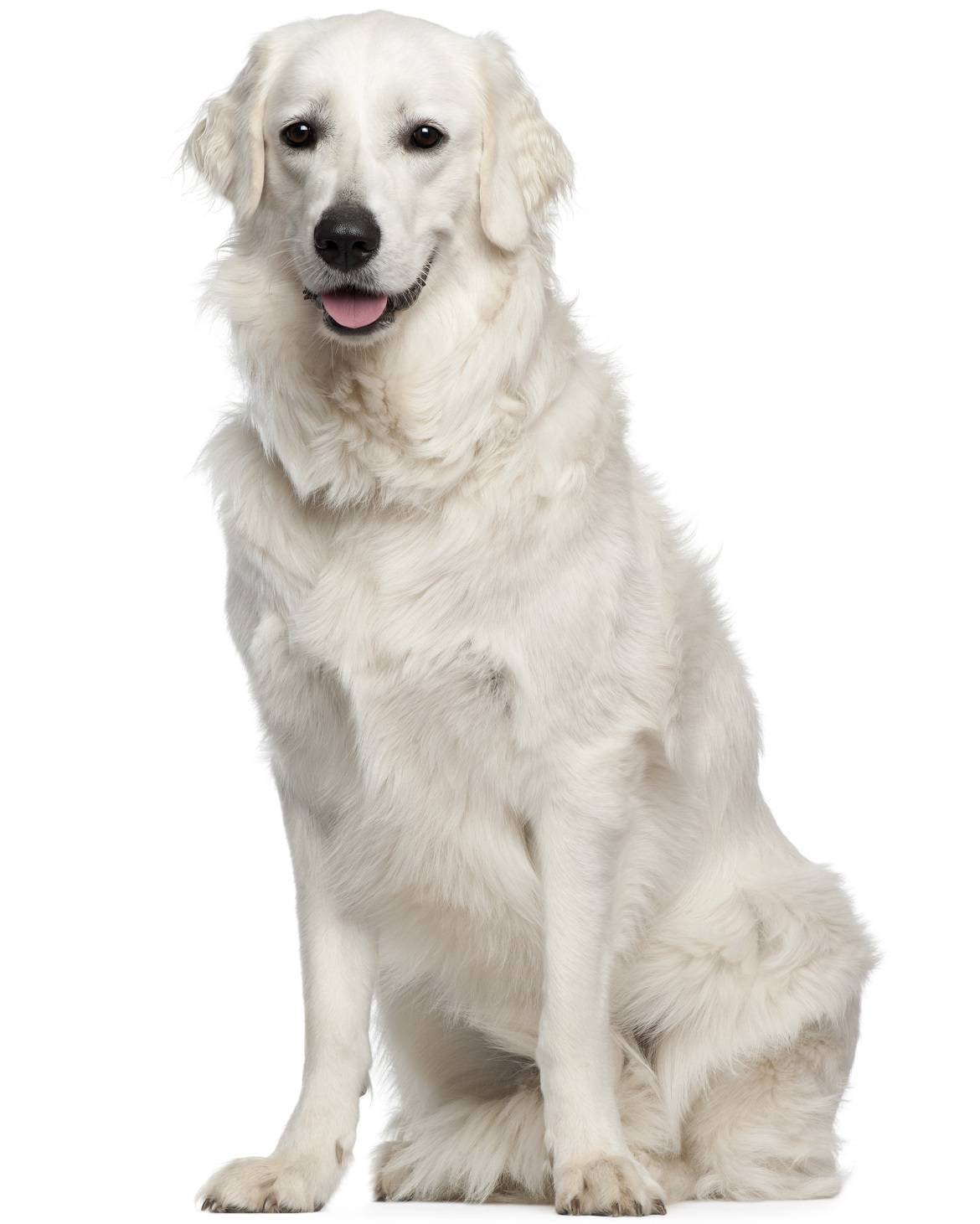 Kuvasz Breed