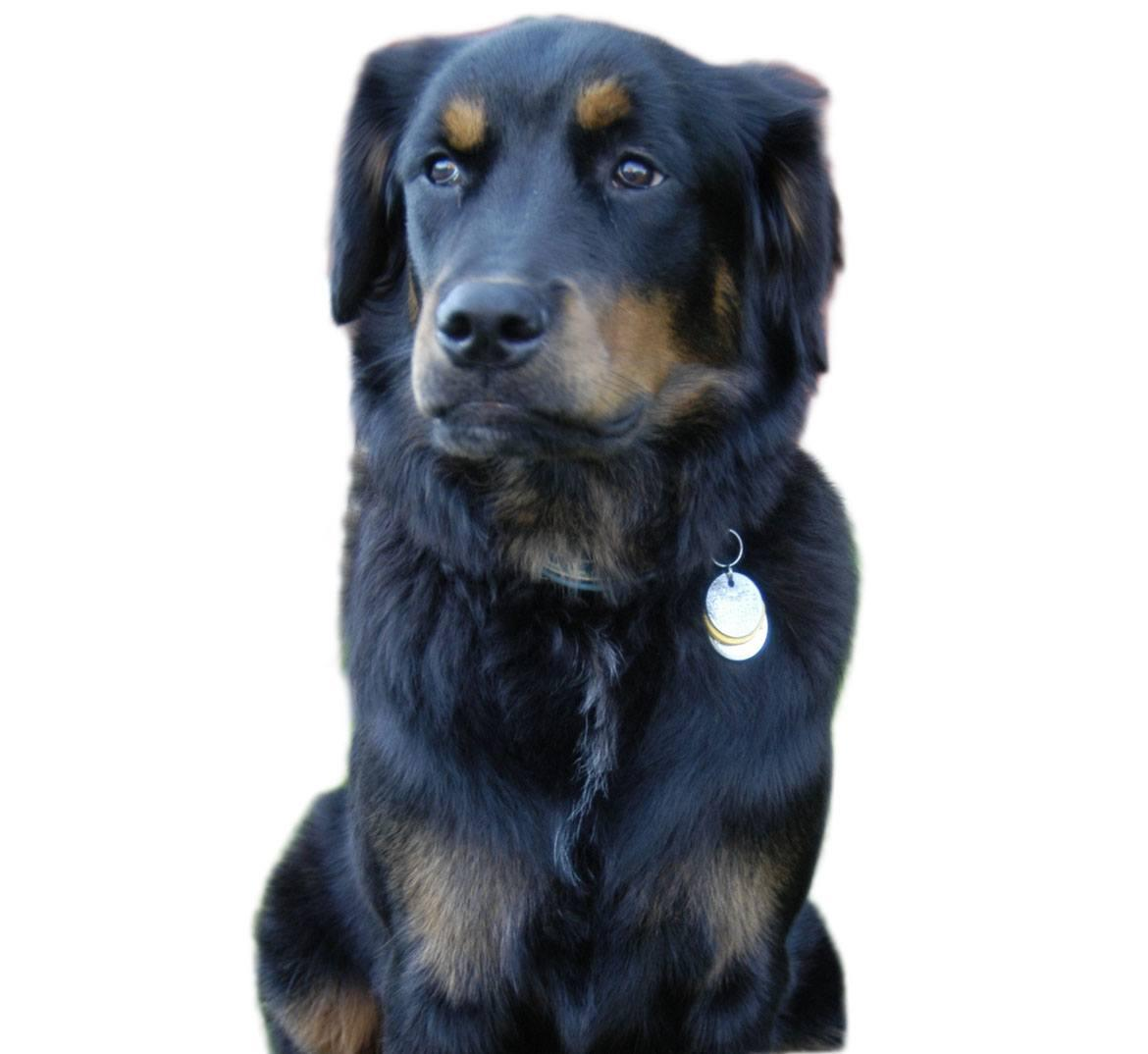 Labernese Breed