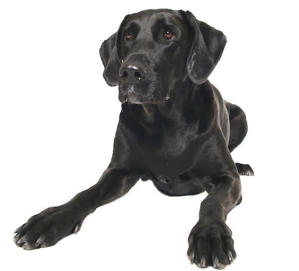 Labradane Breed