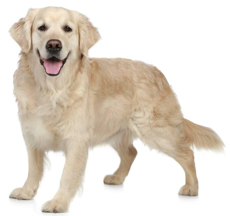 Labrador Retriever Breed